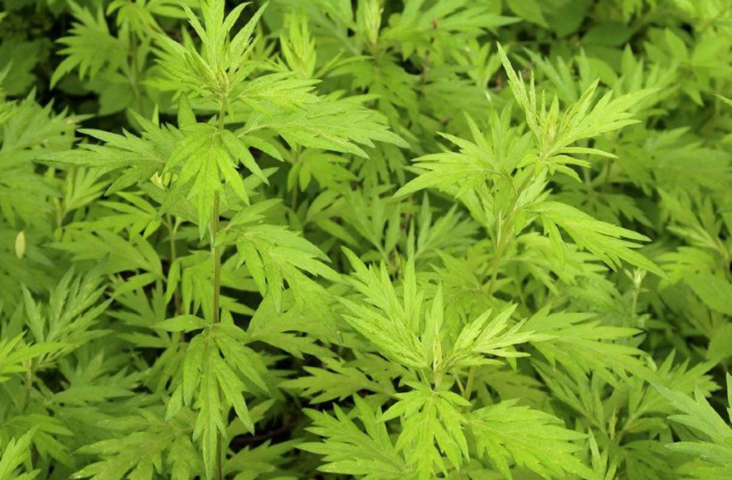 L'Artemisia, une plante miraculeuse ?